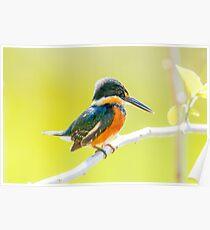 American Pygmy Kingfisher, Brazil Poster