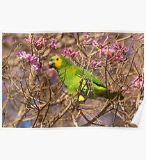 Blue-fronted Parrot, Brazil Poster
