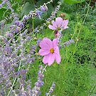 Cosmos and Lavender in a Meadow by Lynne Goodman