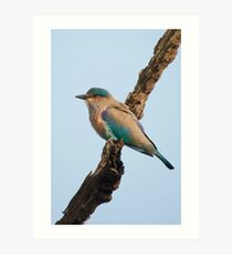 Indian roller on a branch Art Print