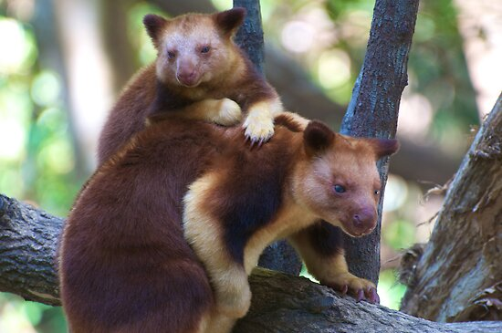 Mother & Child ~ Tree Kangaroos by Renee Hubbard Fine Art Photography