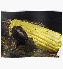 Bullhorn cockroaches on sweetcorn Poster