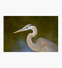 First Year Great Blue Heron Photographic Print
