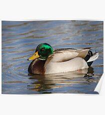 Swimming Drake Mallard Poster