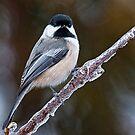 Chickadee on ice covered branch - Ottawa, Ontario by Michael Cummings