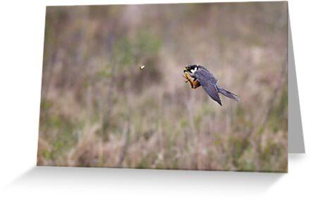 Hobby hunting Mayfly by Richard Nicoll