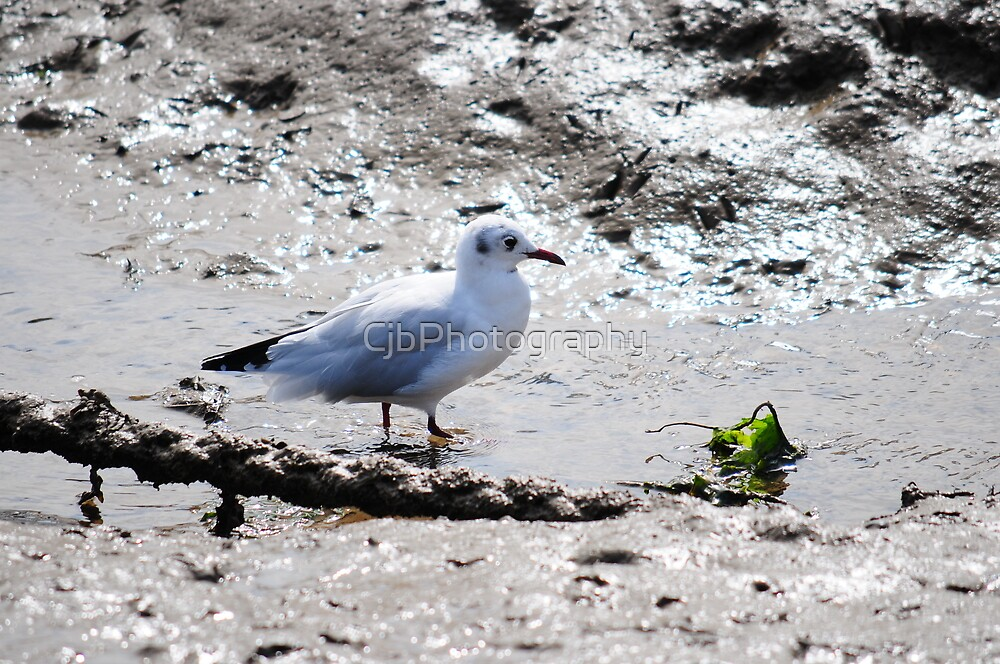 Seagull Having breakfast  by CjbPhotography