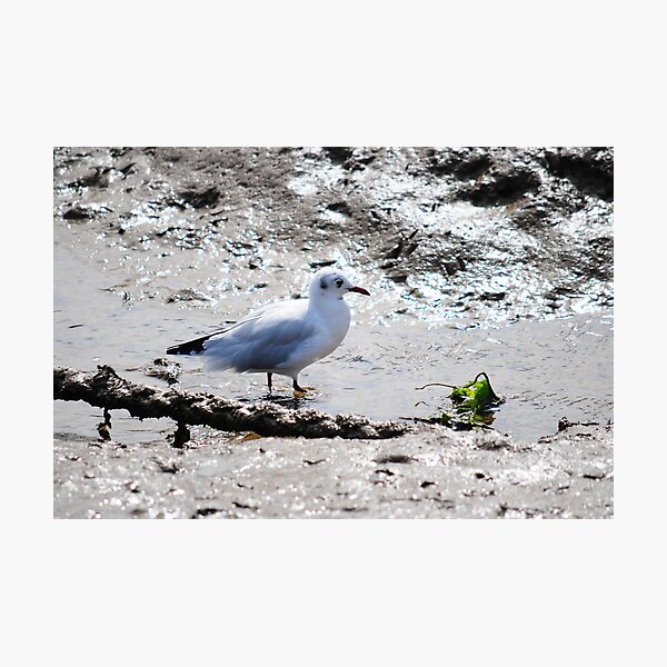 Seagull Having breakfast  Photographic Print