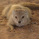 A study in mongoose by Anthony Brewer