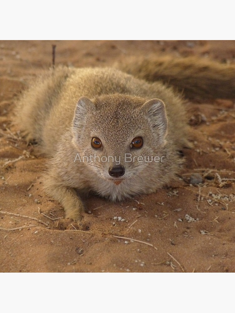 A study in mongoose by dailyanimals