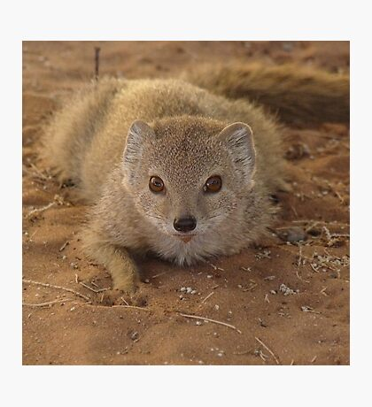 A study in mongoose Photographic Print