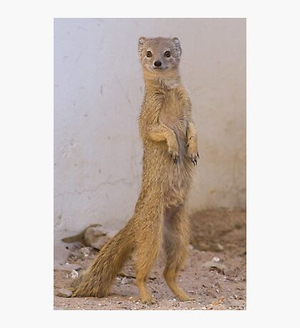 Mongoose stands tall Photographic Print
