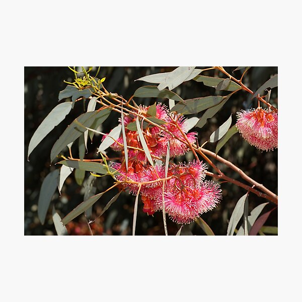 Pink Flowering Gum by South Australian artist Avril Thomas Photographic Print