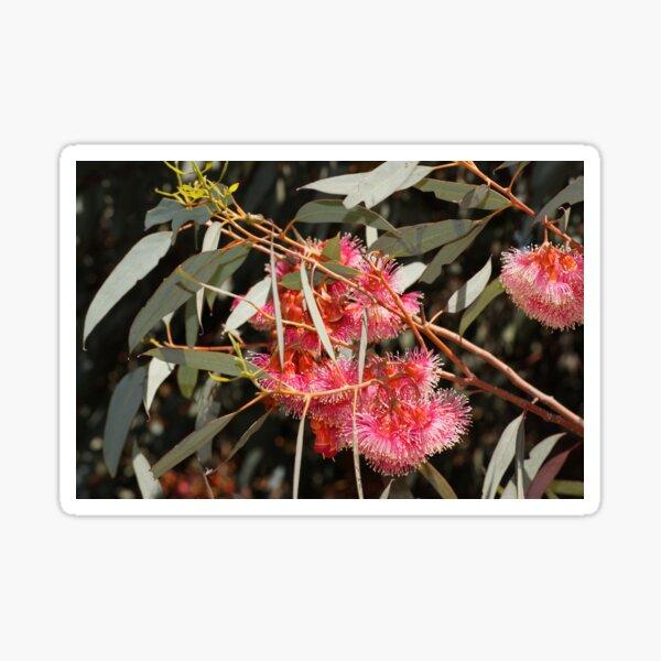 Pink Flowering Gum  by Avril Thomas, South Australian artist  Sticker