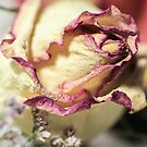 Faded Rose2 by Fizzgig7