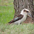 Kookaburra 2 by jaycee