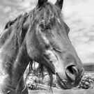 Quarter Horse Portrait in Monochrome by Jim Sauchyn