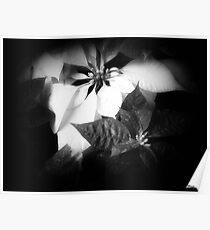 Mixed Color Poinsettias 2 Dark Poster