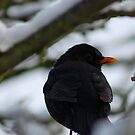 snowy black bird by Perggals© - Stacey Turner