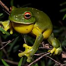 Litoria chloris - Red-Eyed Tree Frog by D Byrne
