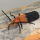 Cladophorus marshalli  by Rina Greeff