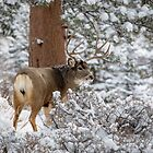 Snowy Buck by Ken Fleming