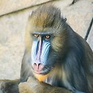Magnificent Mandrill III by Ray Warren