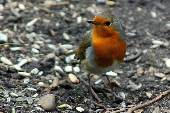 European Robin by Jo Nijenhuis