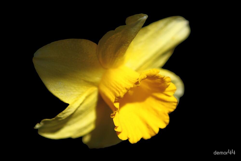 daffodil by demor44