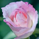 Soft Pink & White Rose by jayneeldred