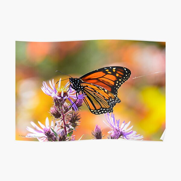 Monarch and Spider Silk Poster