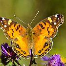 American Lady Butterfly  by Nancy Barrett