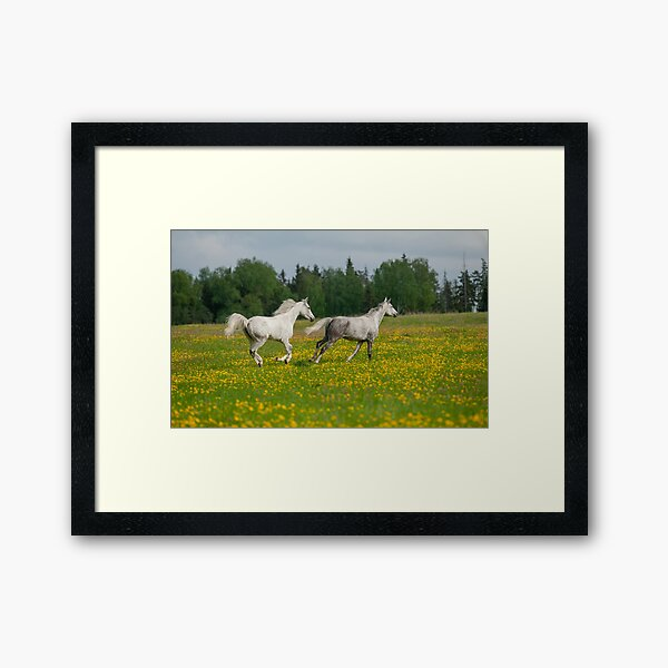 Gray arabian horses running free in the field of dandelions Framed Art Print