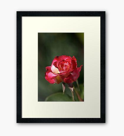 flower-red-white-rose Framed Print