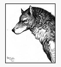 Grey wolf Photographic Print