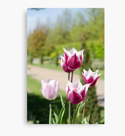 Summer tulips Canvas Print