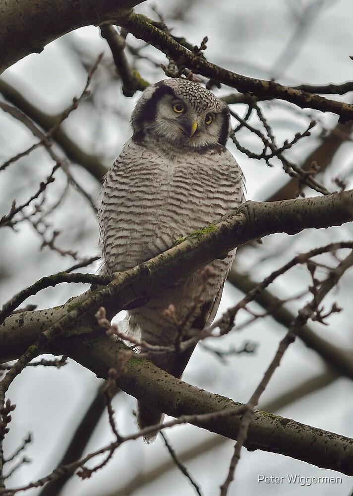 Northern Hawk-Owl - I by Peter Wiggerman