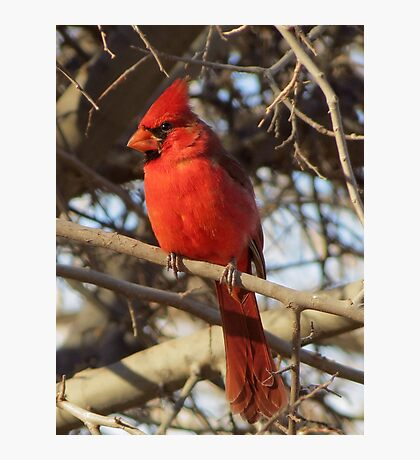 Northern Cardinal (Male) Photographic Print