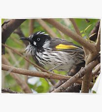 New Holland Honeyeater (Phylidonyris (Meliornis) novaehollandiae) - Normanville, South Australia Poster