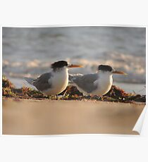 Crested Terns (Thalasseus bergii) - Normanville, South Australia Poster