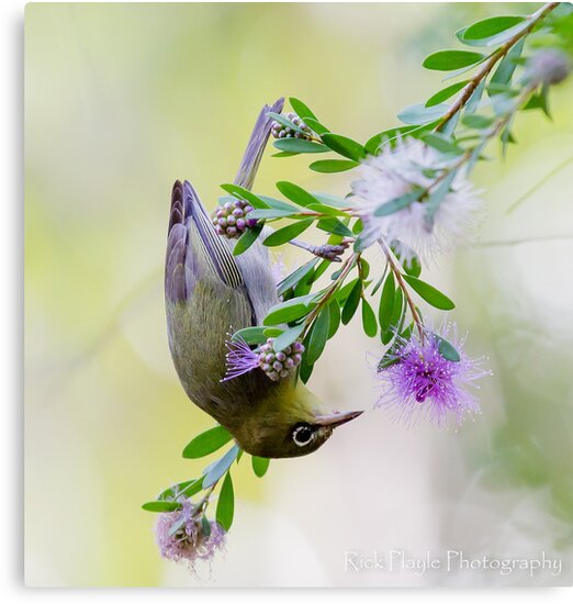 The Silvereye by Rick Playle