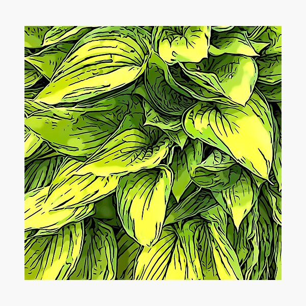Green & Yellow Hosta Plant Photographic Print