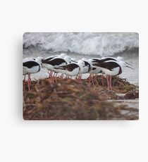 Banded Stilts (Cladorhynchus leucocephalus) - Lucky Bay, South Australia Canvas Print