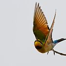 Rainbow Bee-eater Flight by Will Hore-Lacy
