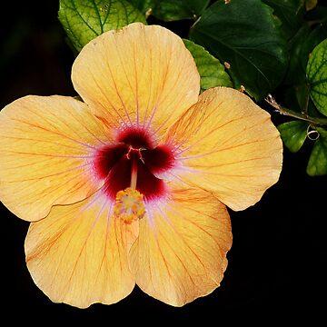 Yellow Hibiscus by cherylorraine
