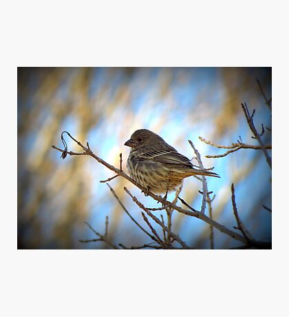 House Finch (Female) Photographic Print