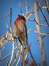 House Finch (Male) by Kimberly Chadwick
