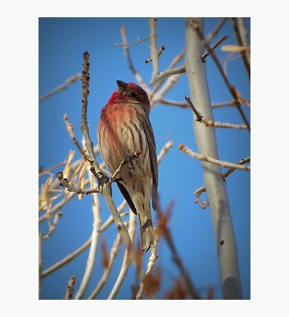 House Finch (Male) Photographic Print