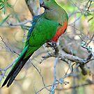 Female King Parrot. Cedar Creek, Queensland, Australia. by Ralph de Zilva