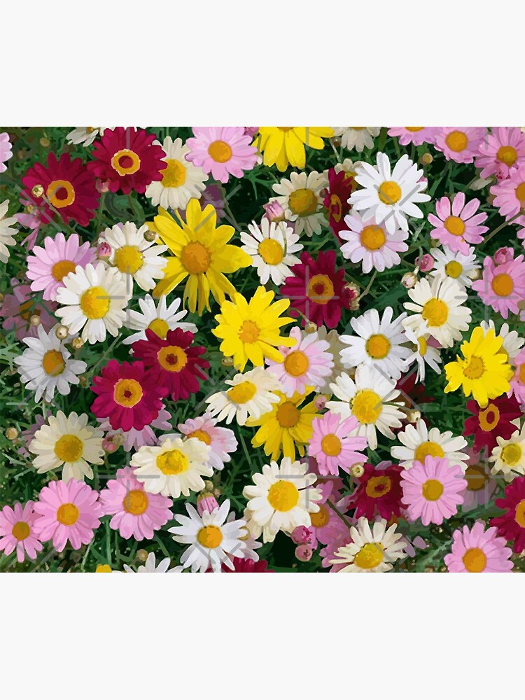 Coloured Daisy Flowers by carlarmes